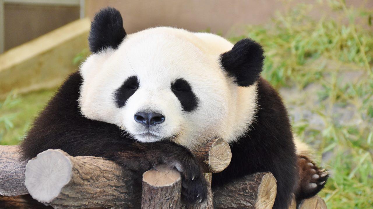 子だくさんパンダ永明がスゴイ!...