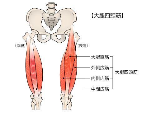 大腿四頭筋リサイズ